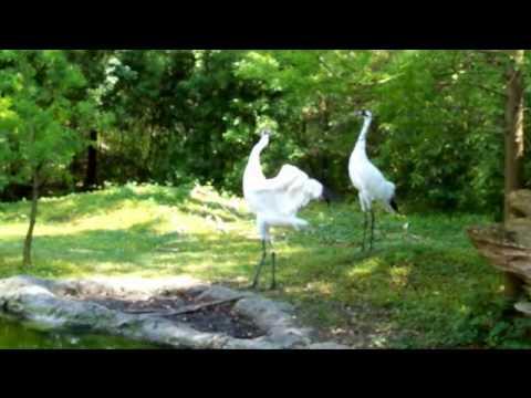 Whooping cranes dancing
