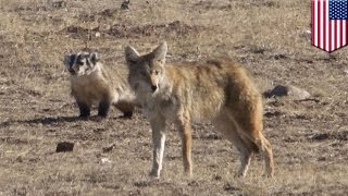 getlinkyoutube.com-獾與土狼結盟獵食 成果豐碩