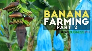 getlinkyoutube.com-How to grow Banana Tree Part 2 : Banana Farm Management  | Agribusiness Philippines