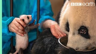 Panda Doesn't Realise She's Had Twins! | BBC Earth width=