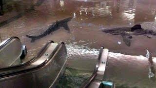 getlinkyoutube.com-Huracán Sandy arrastra tiburones