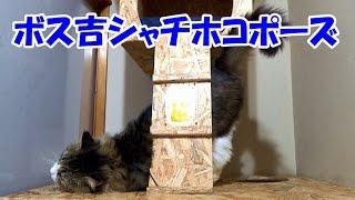 getlinkyoutube.com-保護猫ボス吉、赤蛇おもちゃで遊ぶ&ボス吉しゃちほこポーズ!