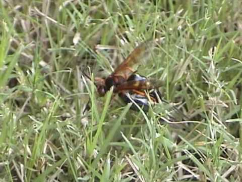 Texas Hill Country - Cicada Killer Wasp - July 2007