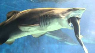 getlinkyoutube.com-Japanese aquarium staff horrified by shark that went cannibalistic