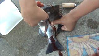 鯛類、血抜きの仕方動画※血がたくさんでます。