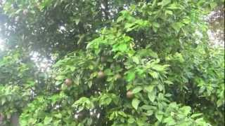 getlinkyoutube.com-Vườn Cây Trái Houston, Texas