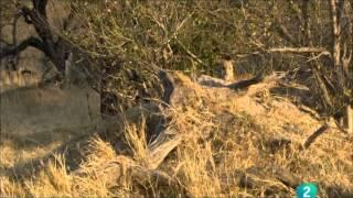getlinkyoutube.com-Leopardos de la isla del Arbol Muerto