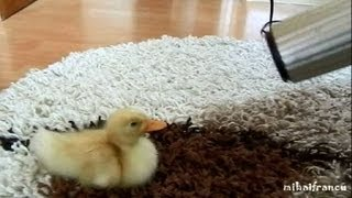 I Are Cute Duckling AWW - Funny Baby Duck Animal