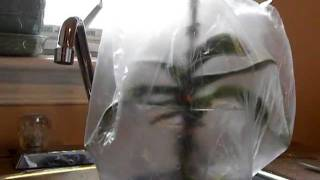 getlinkyoutube.com-ORCHID CARE: Saving a sick orchid. Sphag and Bag method-Part 2.