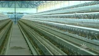 getlinkyoutube.com-Agroexperiência - Granja de codornas