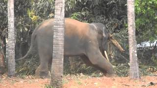 getlinkyoutube.com-kerala elephant playing 2014@mookkutha