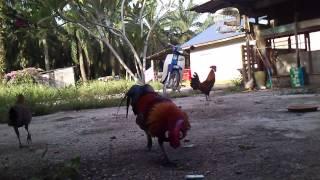 getlinkyoutube.com-Ayam hutan parit mahang