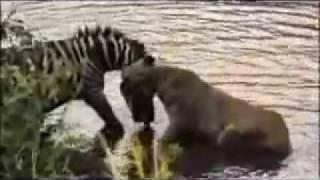 getlinkyoutube.com-zebra afoga leao