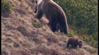getlinkyoutube.com-Strážca divočiny - Medvede v Tatrách SK