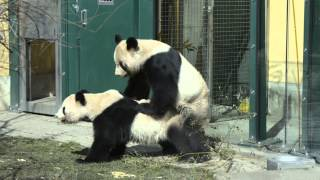 getlinkyoutube.com-Die Paarung unserer Pandas