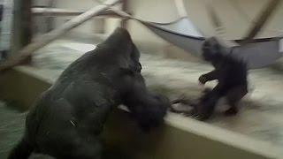 Silverback gorilla breaks up fight
