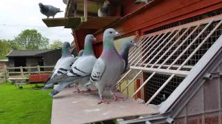 getlinkyoutube.com-Racing Pigeons, young birds 2015