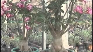 getlinkyoutube.com-Uma das maiores e mais variadas produções de Rosa do Deserto estão em Londrina (03/10)