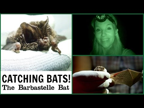 Catching Bats in Night Vision?! (Barbastelle Bat)   Maddie Moate