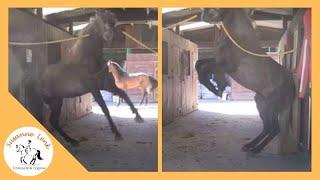 getlinkyoutube.com-Observación comportamiento caballo: Semental lusitano, peligroso comportamiento de frustración
