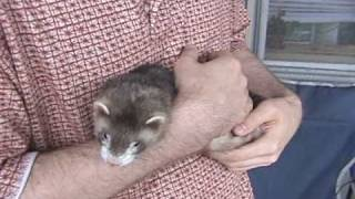 getlinkyoutube.com-Why Pet Ferrets Are Worth All of the Trouble