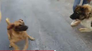 getlinkyoutube.com-كلب ضال شرس بلدي حاول مهاجمتنا وكلبنا القوقازي انقذنا منه مع جمال العمواسي