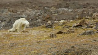 Footage of starving polar bear exposes climate change impact
