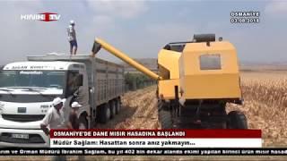 Osmaniye'de dane mısır hasadına başlandı