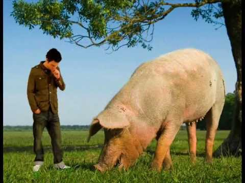 The biggest pig in the world?
