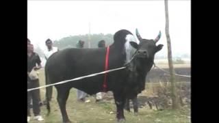 getlinkyoutube.com-Bangladesh Bullfight 2014 Shamim Raza Sreeramishi Sortola Thana Jogonathpur