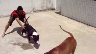 getlinkyoutube.com-Zian (PitBull) e Zeus (Bull Terrier)