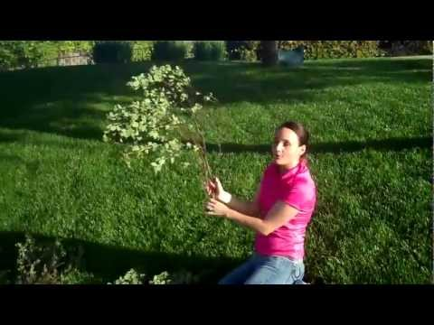 (* MANZANITA BRANCHES *) Learn How to Buy Manzanita Branches Wholesale