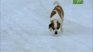 Dogs 101 - Saint Bernard width=
