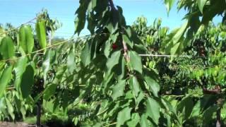 getlinkyoutube.com-UMass Video Fruit Advisor: super-spindle-axis sweet cherry