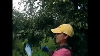 getlinkyoutube.com-เก็บผลไม้ที่ออสเตรเลีย (ลูกแพร)