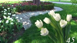 getlinkyoutube.com-Футаж тюльпаны
