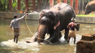getlinkyoutube.com-Elephant Bathing in Guruvayoor