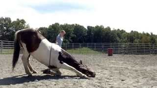getlinkyoutube.com-How to teach your horse to lay down safely and simply!