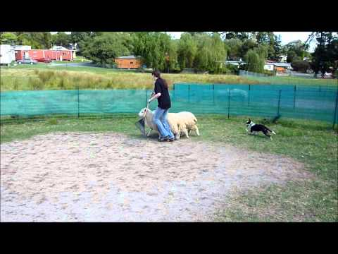 Kelpie/Border Collie pup herding sheep for first time