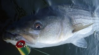 getlinkyoutube.com-Fall Cow Surfcasting  Stripers - Win 1 Lose 1