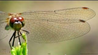 getlinkyoutube.com-Dragonfly Wings in Slow Motion - Smarter Every Day 91
