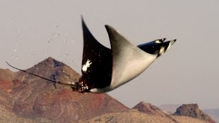 getlinkyoutube.com-Mobula Rays belly flop to attract a mate - Shark: Episode 2 Preview - BBC One
