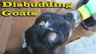 getlinkyoutube.com-How we Disbud - Dehorn our Dairy Goats