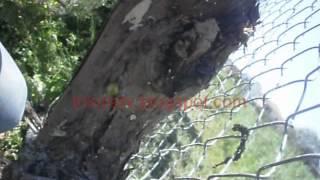 getlinkyoutube.com-Μπόλιασμα αμπελιού στα Τρίκαλα