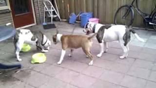 getlinkyoutube.com-Bull terrier VS American Bulldog