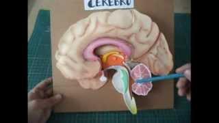 getlinkyoutube.com-Maqueta del Cerebro