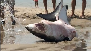 getlinkyoutube.com-GREAT WHITE SHARK BEACHES IN CAPE COD Amazing Footage!!!