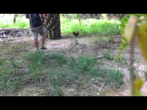 Pikat ayam hutan(Balung pelik)