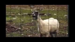 getlinkyoutube.com-Maldita cabra cantora