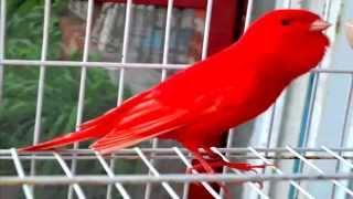 getlinkyoutube.com-من أجمل تغاريد طائر الكناري لتسميع الفراخ